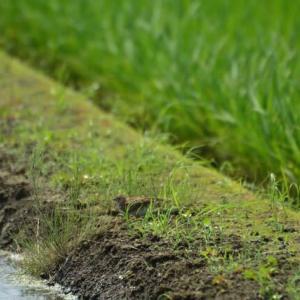 ヒバリ ('21-2) 畦で遊ぶ・・・