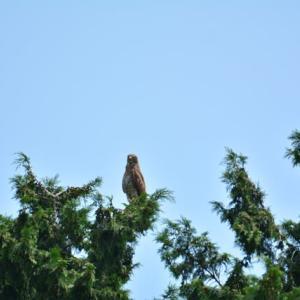 サシバ ('21-22) 高木のテッペンより 私を睨みつける MFのサシバ・・・