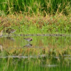 ウズラシギ ('21-3) ムナグロと一緒に採餌する みず田んぼの光景・・・