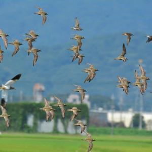 ムナグロ ('21-4) 群れの飛翔と着水光景・・・