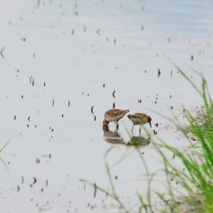 ヒバリシギ ('21-2) 2ヵ所の田んぼで出会った採餌光景・・・