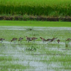 オグロシギ ('21-1) 群れの採餌光景・・・