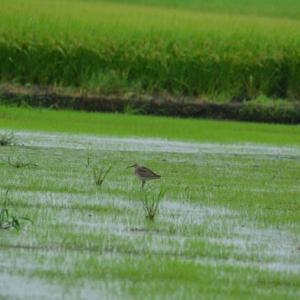 チュウシャクシギ ('21-1) ポツンと1羽 みず田んぼに佇む・・・ 初見初撮りです