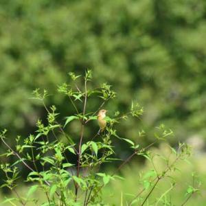 ノビタキ ('21-1) 蕎麦の花ではないけれど 今季初見のクサノビです・・・