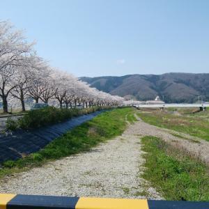 人気のない穴場スポットに花見に行ってきました(o^^o)