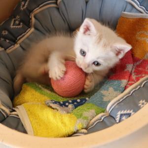 保護猫の『マハグリちゃん♂』里親さんを募集しています(#^.^#)