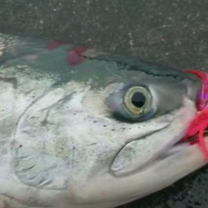 8/26 2020 鮭釣り 【日本海】④