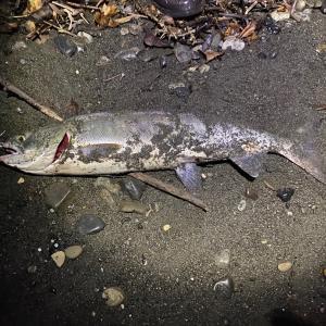 9/1 2020 鮭釣り ⑤-1【日本海】