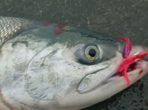 9/15 2020 鮭釣り ⑧ 【日本海】