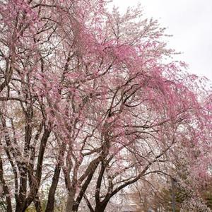 桜Vol.6