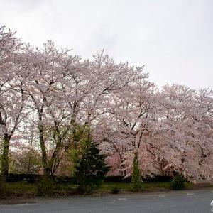 桜Vol.7