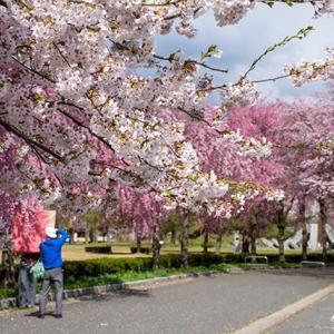 桜Vol.8