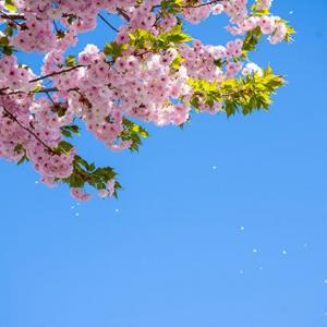 八重桜Vol.2