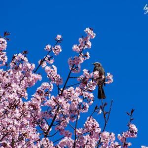 桜・ヒヨドリ