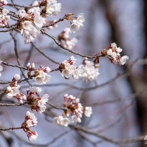 桜・キジ・ツグミ