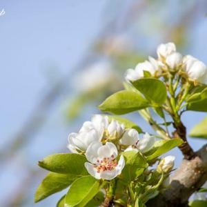 下見・リンゴの花