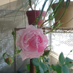今年の薔薇 開花