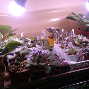 植物育生ライト導入から1ヶ月経過【セントポーリア】