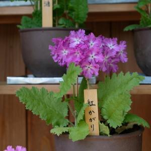 桜草の野生種