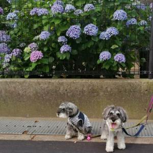 紫陽花朝ん歩とコロナ禍の楽しみ
