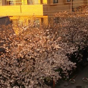 桜咲いたよ❤️