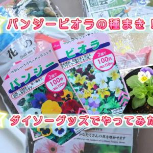 【ダイソー花の種・パンジー&ビオラ】100均園芸用品で種まきしてみた!時期ややり方も