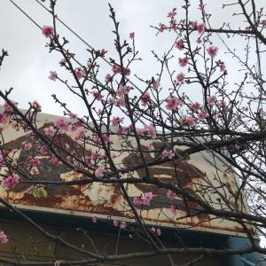 食堂の桜と金魚