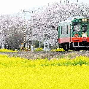 2021年4月1日 真岡鐵道 桜・菜の花街道 2