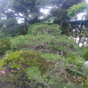 松の芽摘みとツツジ刈り込み作業