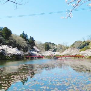 桜が 満開に 🌸