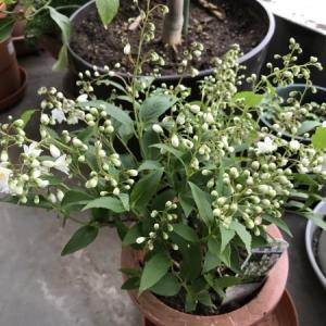 ベランダの植物達が春に向かって進行中