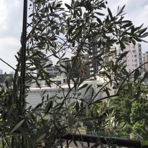 ベランダの植物達とアストランティア