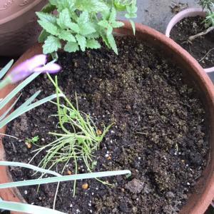ベランダの植物達とナスタチウムの種蒔き