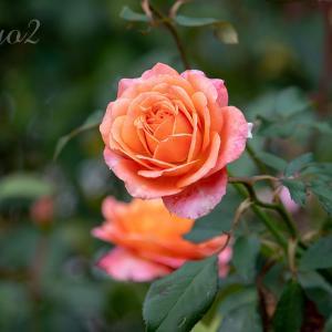 【一日一絵】秋の野の花シリーズ