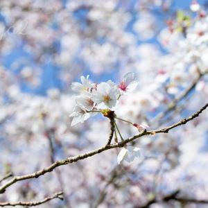 散り始める桜と天変地異(とワンコ先生)