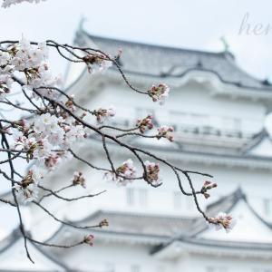 小田原城の満開の桜