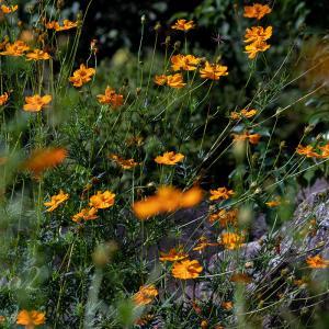 ご近所お花スポットのキバナコスモス