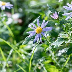 【一日一絵】青い花のシリーズ9枚。