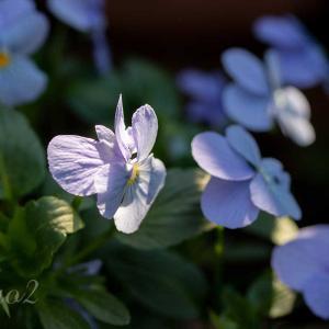 【一日一絵】紫の花のシリーズ9枚。