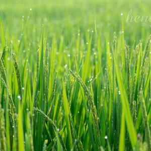 稲穂と食料品の軽減税率