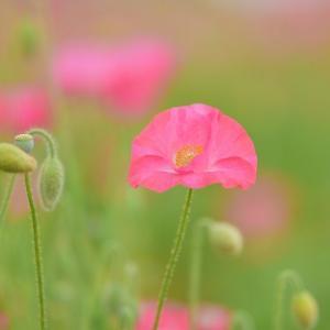 ポピーの花です、5月です!