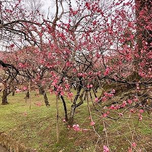 北野天満宮 梅の花が見頃&梅苑 茶店の和菓子