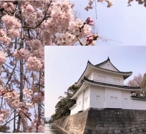 二条城 桜まつり2019に行ってきました。桜の見頃と出店の食べ物