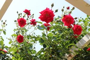 京都府立植物園のバラ園で美しい薔薇の花を見る(5月)