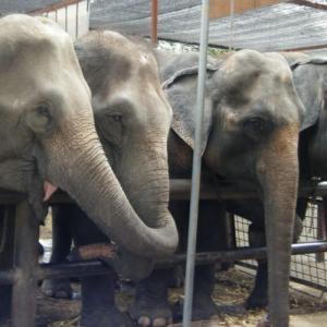 コロナでゾウも危機!タイのゾウを守ろう!!