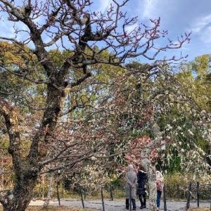 梅の花開花!