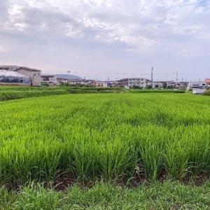 近隣の稲の様子
