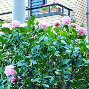 今年の乙女椿は、いつもより早く咲いたと思ったら、てっぺんばかり咲いて、花冠みたいに...