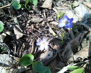雪割草の花が咲きました