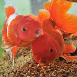 オリンピックと金魚